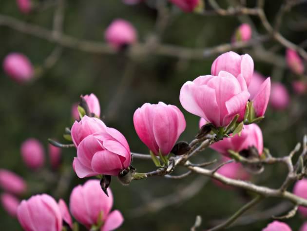 Новая нотка в ландшафтном дизайне — выращивание магнолии в саду