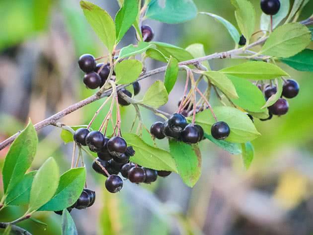 Черноплодная рябина арония черноплодная