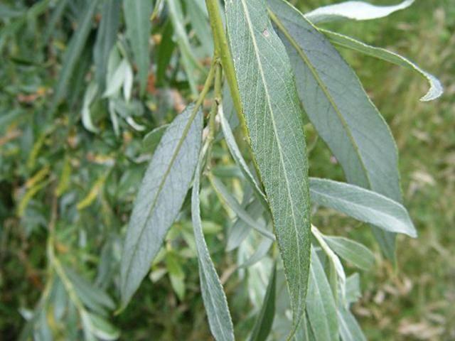 Ива белая: полезные свойства коры ивы и противопоказания