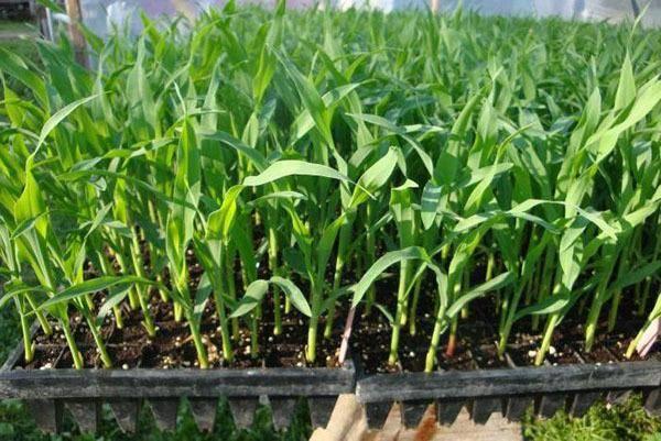 Посадка кукурузы рассадой: сроки, пикировка, как высаживать в открытый грунт