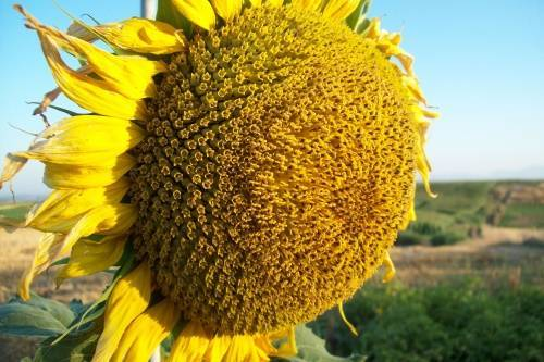 Раннеспелый подсолнечник Бузулук порадует хорошим урожаем