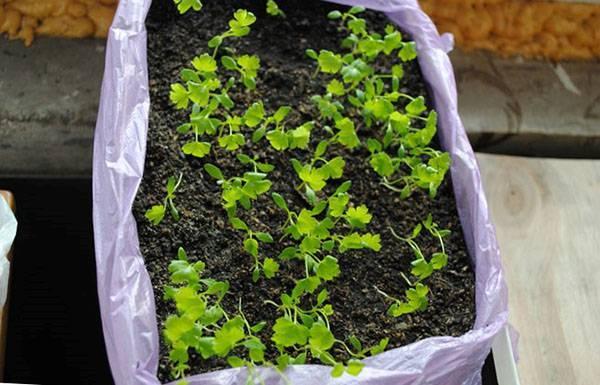 Практические рекомендации огородникам по посадке и выращиванию черешкового сельдерея через рассаду