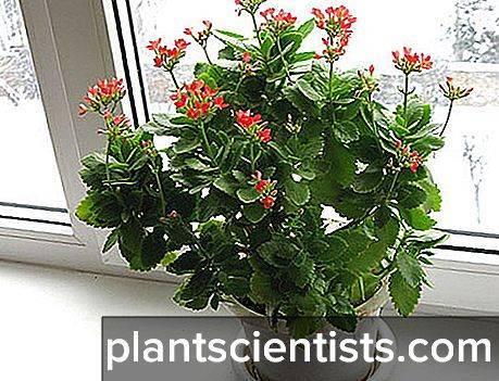 Уход за каланхоэ в домашних условиях после покупки и пересадка цветка