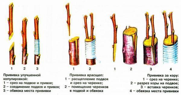 Прививка алычи на сливу в расщеп: как и для чего это делается
