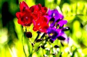 Выращивание фрезии в саду: подробно о посадке и уходе в открытом грунте