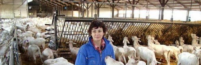 Советы фермерам: как правильно раздоить козу после первого окота?