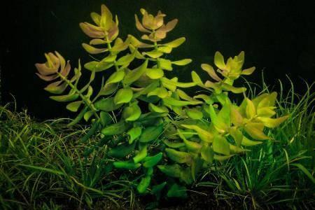 Бакопа уход и выращивание размножение семенами и черенками