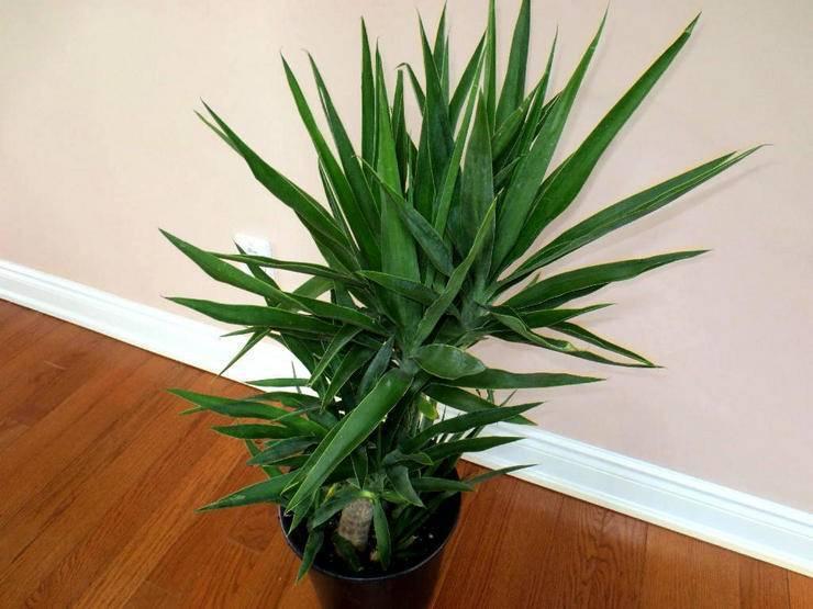 Юкка (yucca). описание, виды и уход за юккой