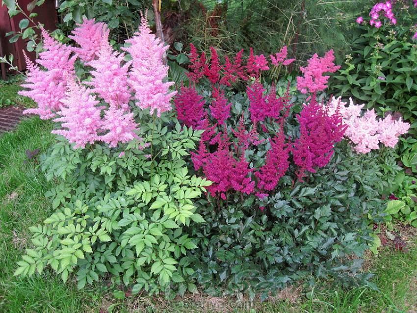 Астильба для вашего сада: посадка, уход и размножение