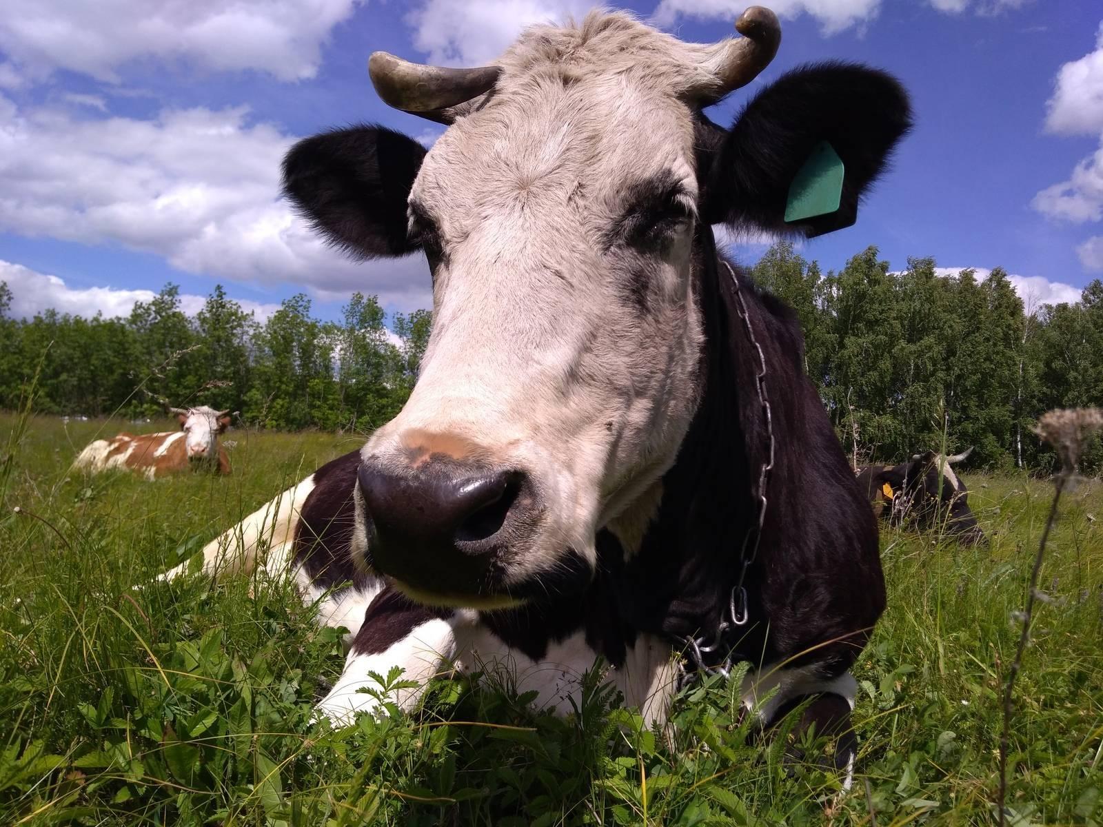 Особенности содержания коровы в личном хозяйстве