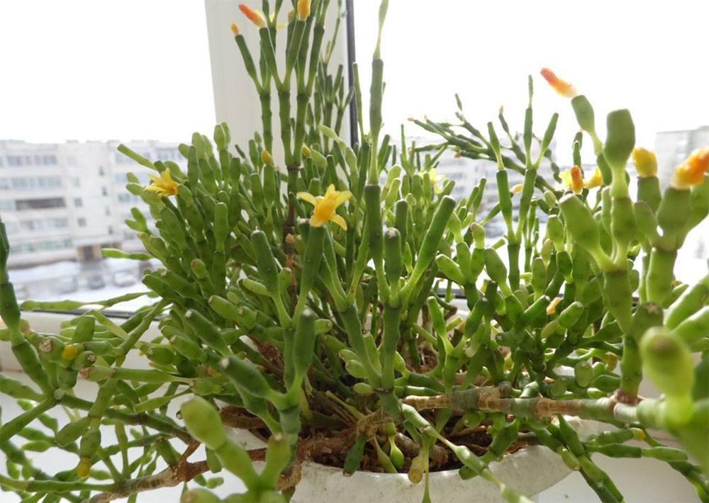Хатиора солеросовидная — утончённый кактус