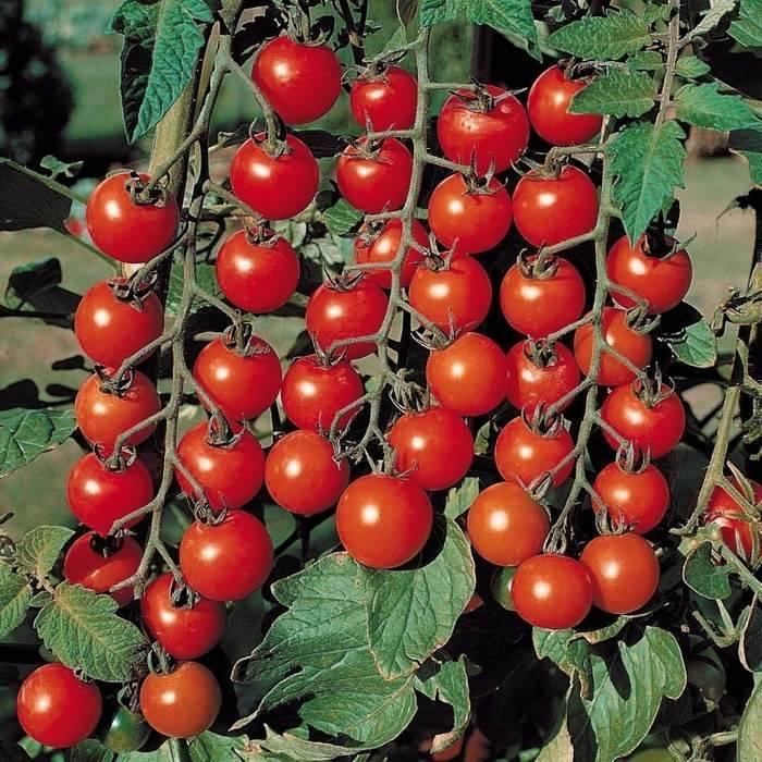 Посадка и выращивание томатов черри