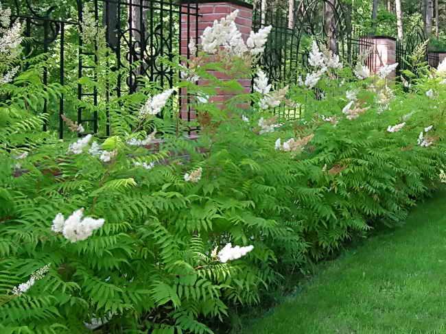 Хризантема кустовая — сорта, выращивание, уход, видео