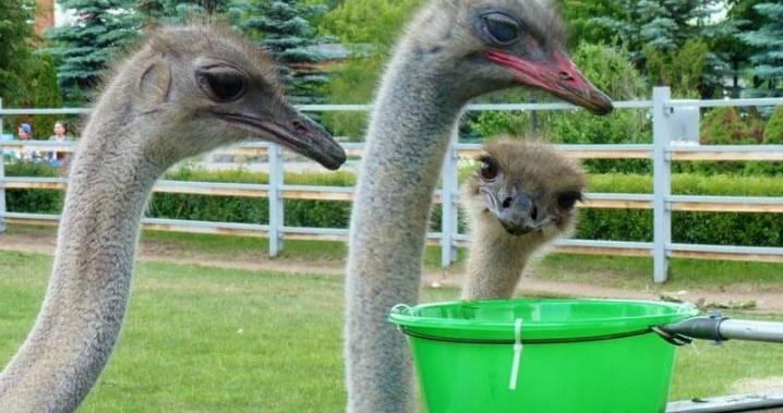 Каким должно быть содержание страусов на частном подворье