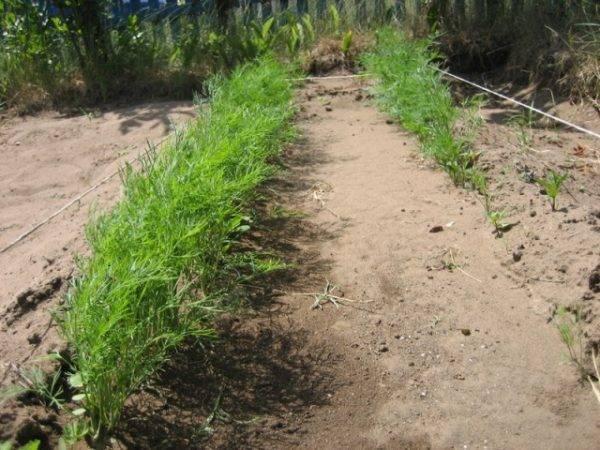 Как посадить укроп, чтобы он быстро взошел?