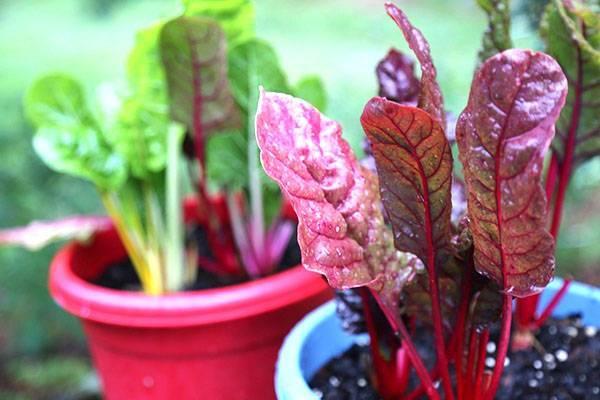 Мангольд — польза и вред для здоровья организма