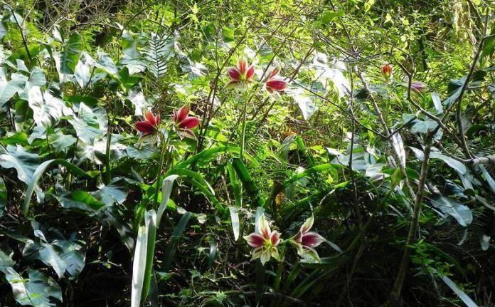 Семейство амариллисовых: основные виды, особенности содержания в домашних условиях