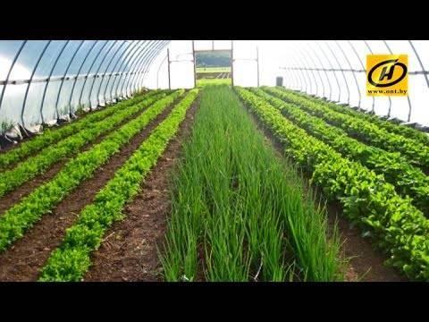 Бизнес по выращиванию зелени в теплице: как добиться рентабельности круглый год?