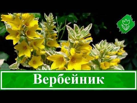 Величавый представитель цветочного королевства – вербейник