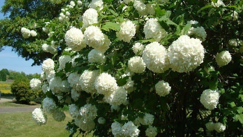 Красавица калина: лучшие сорта, правильное выращивание и уход