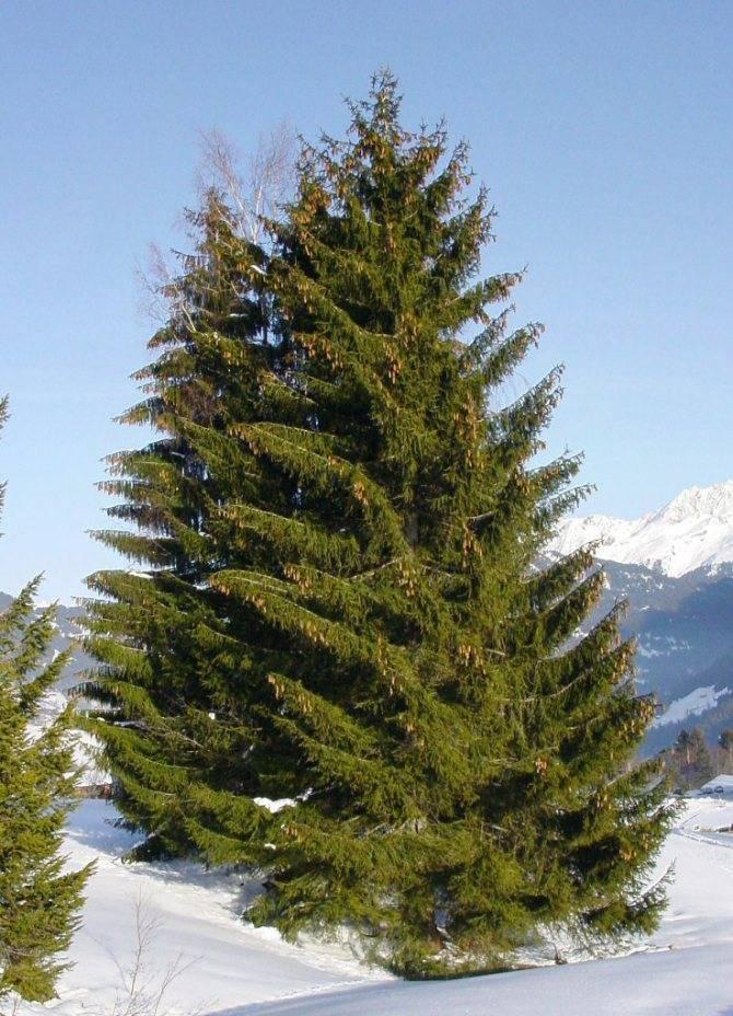 Вечнозеленые растения для сада, 10 популярных культур