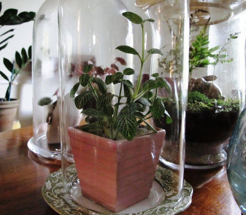 Как вырастить и размножить фиттонию в домашних условиях?