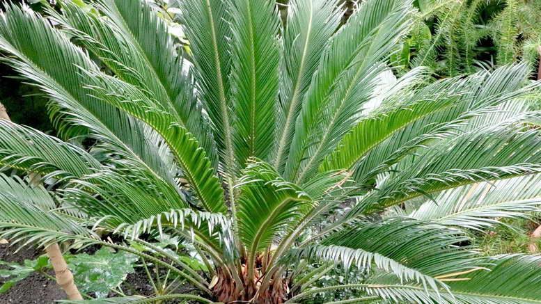 Цикас – удивительное растение дома