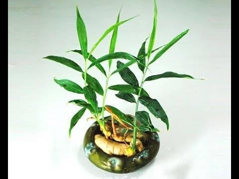 Можно ли получить корень имбиря в домашних условиях? секреты выращивания