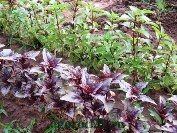 Базилик — ароматная пряность на вашем огороде