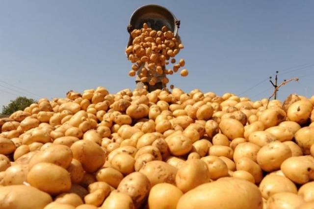Когда можно и как правильно копать молодую картошку