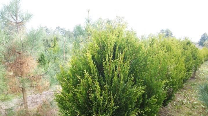 Выбираем лучшие сорта туи для живой изгороди на участке