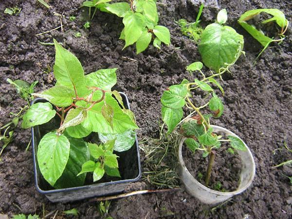 Отличие саженцев из черенков от саженцев актинидии из семян