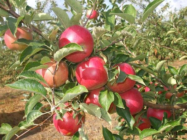 Плодовые деревья для сада — яблоня Глостер