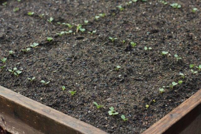 Как сажать редис в открытый грунт весной и летом