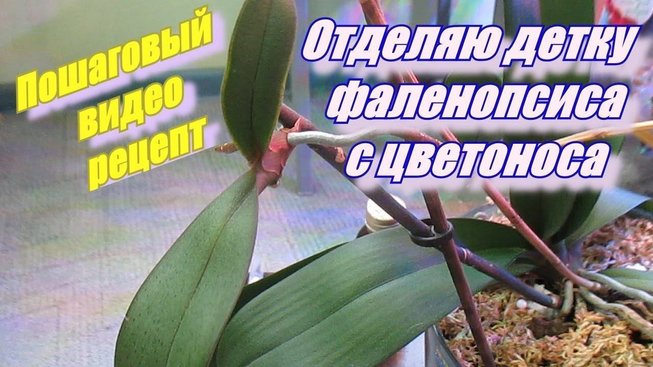 Как нарастить корни у детки орхидеи: простые способы