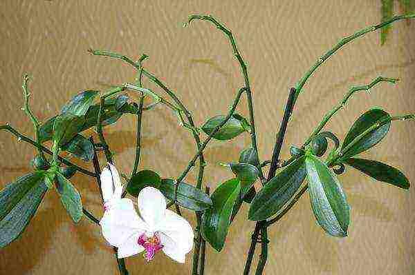 Как провести в домашних условиях размножение орхидеи детками и в каких случаях подойдет этот способ?