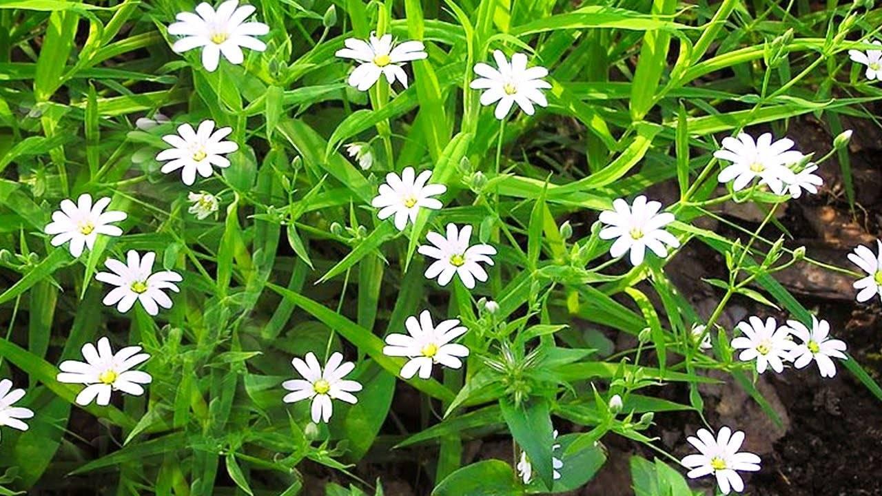 Фото и описание травы, которую называют мокрица