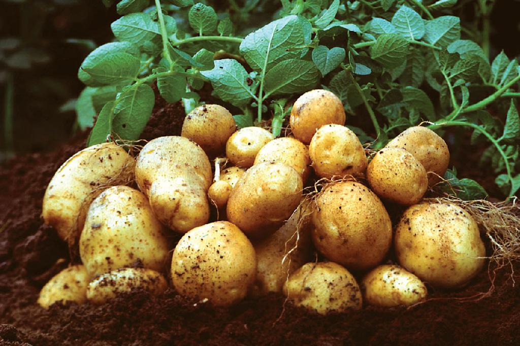 Что вносить в лунку при посадке картофеля. использование мотоблока или сажалки при посадке картофеля. осенняя подготовка поля под картофель.