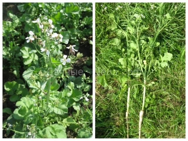 Выращивание масличной редьки как сидерата
