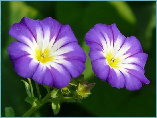 Ипомея, описание, выращивание и применение