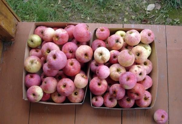 Лучшие сорта яблони для подмосковья