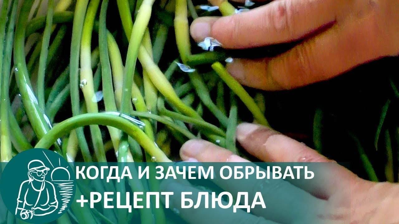 Чесночные стрелки на зиму: готовим витаминную бомбу