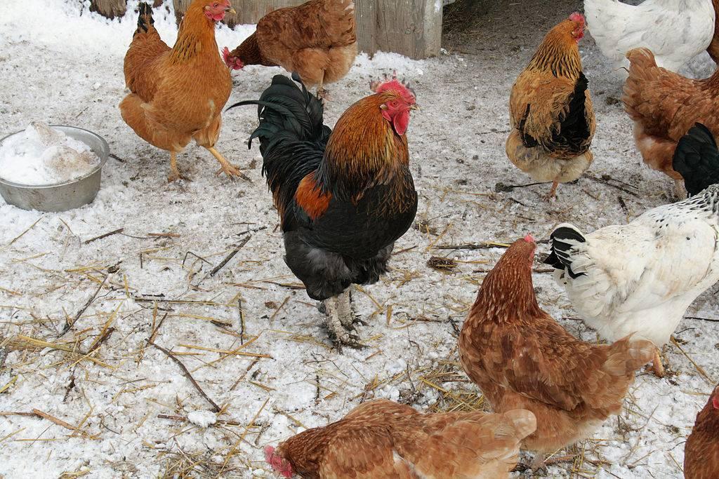 Что за заболевание кокцидиоз у кур? его симптомы, лечение и профилактика