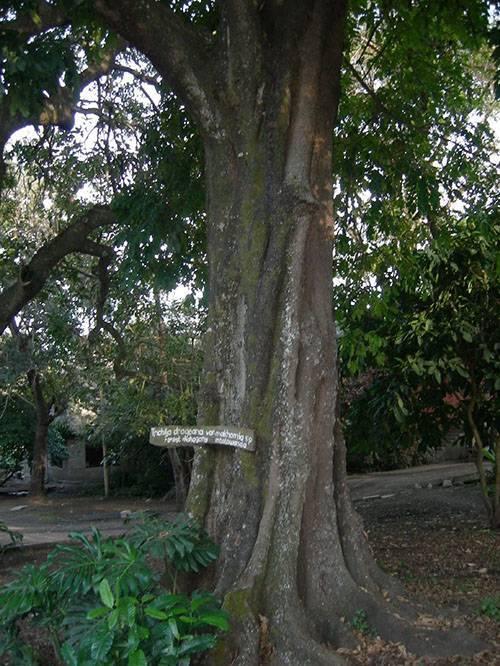 Тис ягодный – фото, описание и особенности выращивания редкого растения