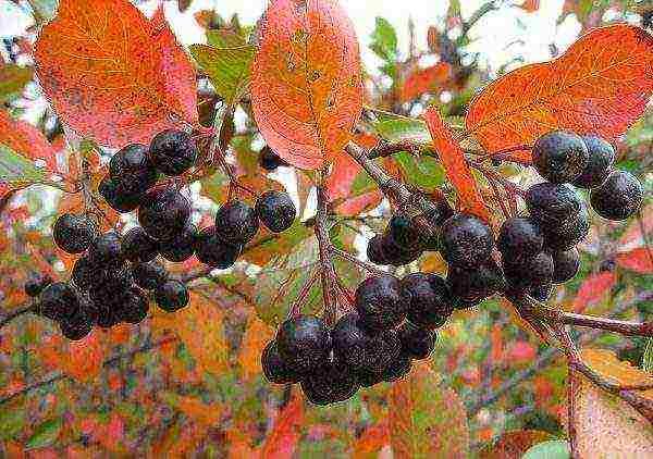 Черноплодная рябина (арония) на зиму – лечебные свойства и противопоказания, фото