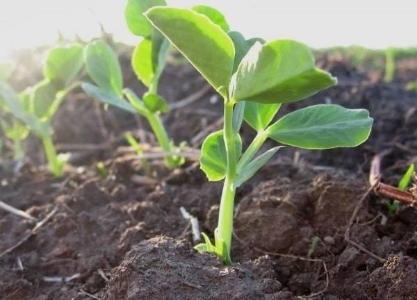Как прорастить горох для посадки на участке и для еды дома