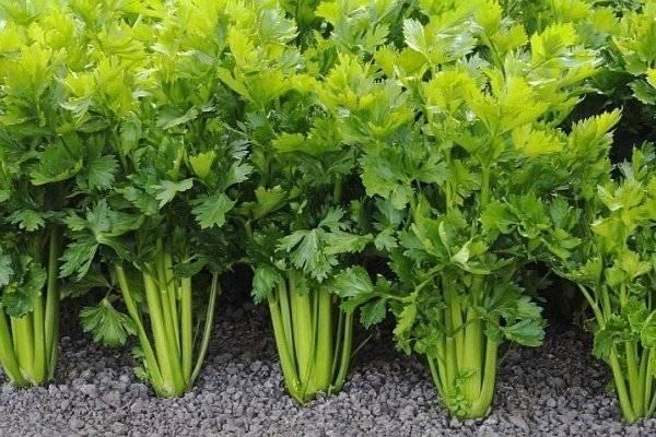 Как вырастить листовой сельдерей из семян