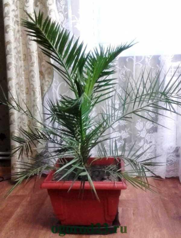 Выращиваем дома финиковую пальму