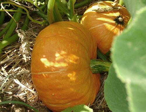 Выращивание тыквы в открытом грунте Подмосковья