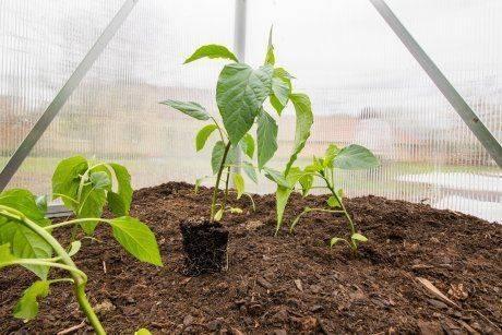 Выращивание и уход за сладким перцем в теплице